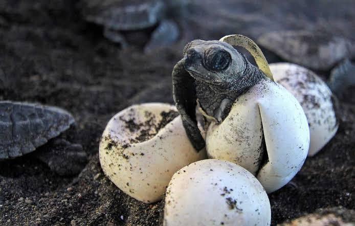 Polisi Gagalkan Penyeludupan 3.274 Butir Telur Penyu di Kepulauan Riau