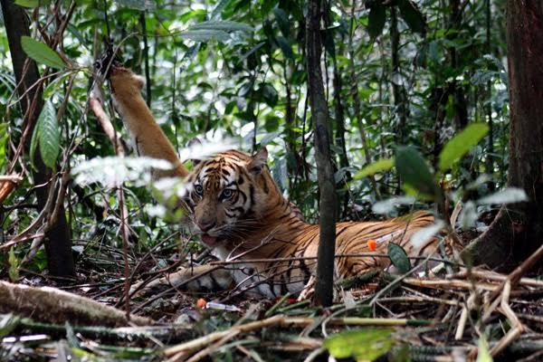 Harimau Sumatera Terjerat di HTI Dievakuasi ke PRHSD Sumbar