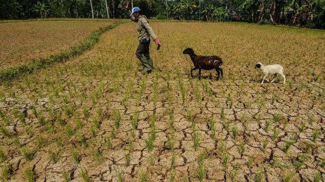 800 Hektare Sawah di Aceh Besar Kekeringan, Petani Terancam Gagal Panen