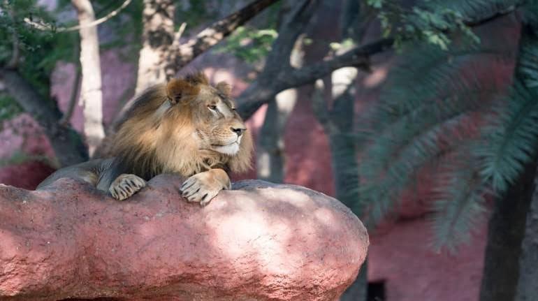 Pandemi Mengganas di India, Delapan Singa Positif Covid-19